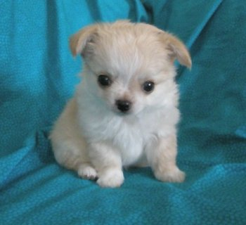 صور 3 T'cup chihuahua puppies available for your home 1