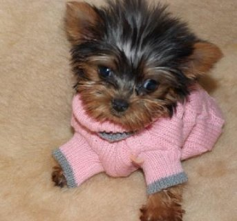 Awesome Yorkie puppies available,