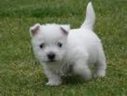 Cute male and female West Highland White Terrier puppies for sal
