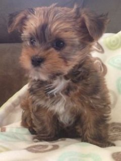 Morkies puppies for adoption