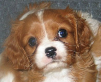 two beautiful male and female Cavaliers for adoption