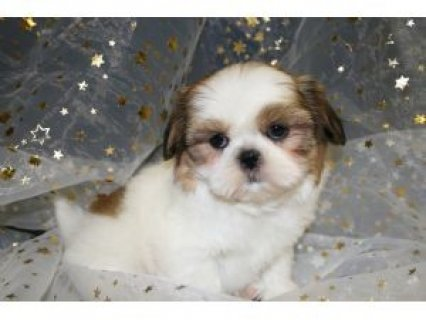 Home Trained Shih Tzu Puppies