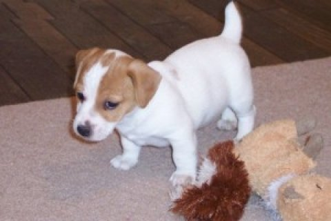 Male and Female Jack Russell Puppies