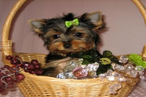AMAZING MALE AND FEMALE YORKIE PUPPIES FOR A NEW HOME.