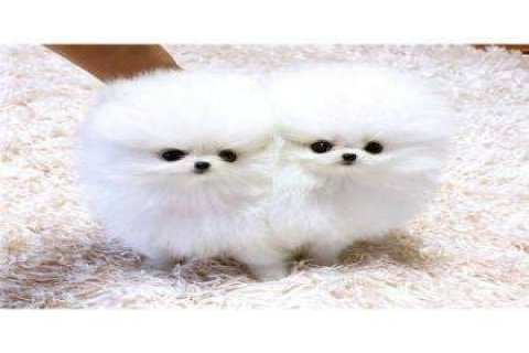 Hello cute and new year teacup pomeranian puppies for adoption