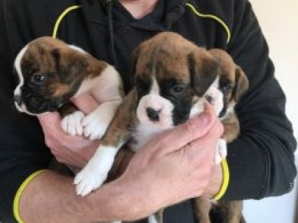 Pedigree boxer pup for sale