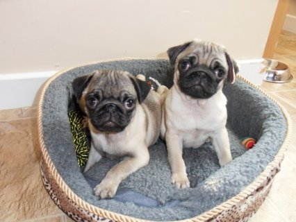 Pug Puppies Available 66665