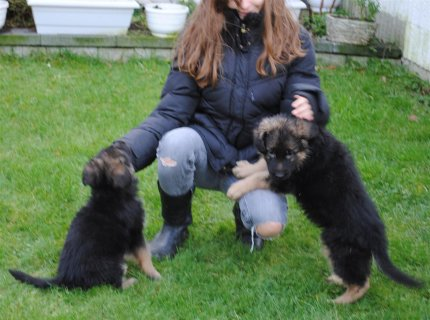 German Shepherd Puppies 989898