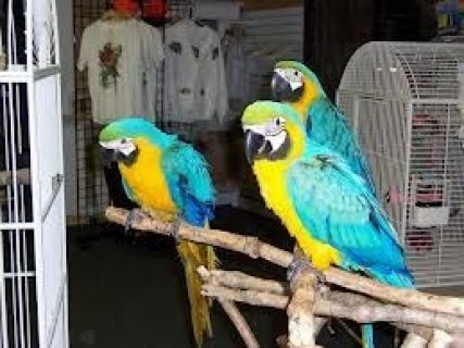 Wonderful Blue And Gold Macaw