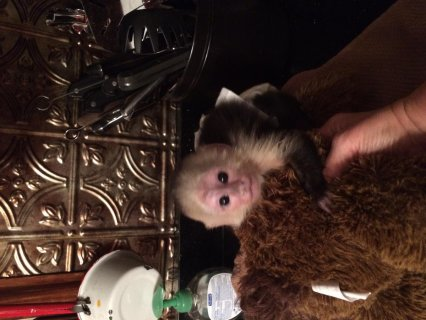 Marvelous Capuchin Monkeys for Sale