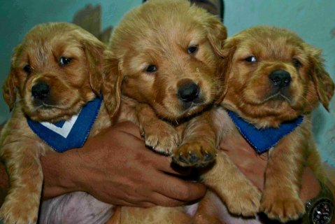 صور Best Golden Retriever Puppies 40 days 1
