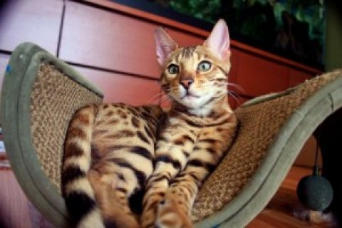 صور Male And Female Bengal kittens For Sale Now Ready To Go Home 1