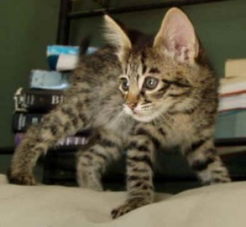 1 Male And 1 Female F2 Savannah Kittens in Need of a Good Home