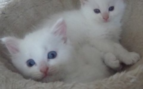 Pure Bred Cream Ragdoll Kittens