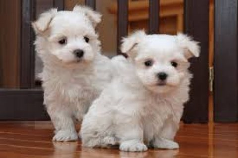 outstanding male and female pure breed Maltese puppies ready for