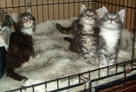 We have Available Maine Coon Kittens