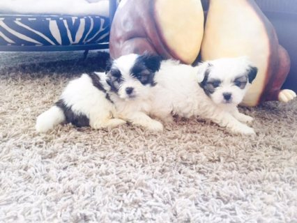 Adorable Female Pups Looking For a Home