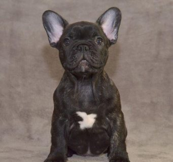 Well trained French Bulldog Puppies Available