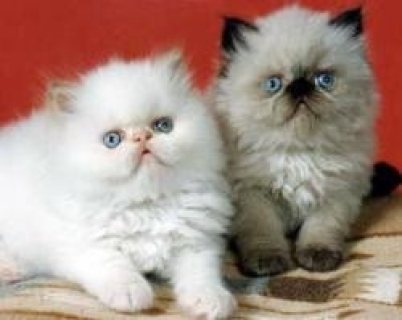 Gorgeous litter of Himalayan kittens available for you