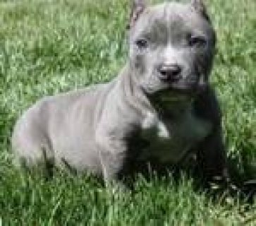 pit bull puppies for re homing