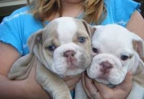 STRONG AND LOVELY ENGLISH BULLDOG PUPPIES READY TO GO NOW TO GOO