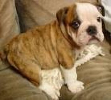 Super macnificien english bulldog for free adoption