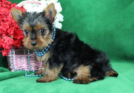 adorable yorkie puppy for adoption