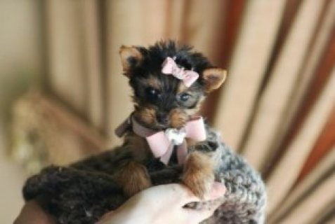 Outstanding Female Yorkie Puppy for GOOD hOMES