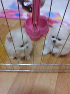 Charming Pom Puppies for adoption