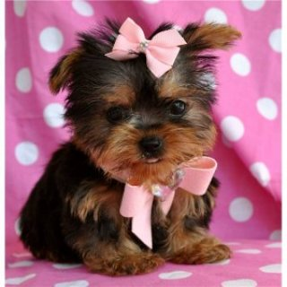 fluffy Male and Female yorkie pups for adoptoin