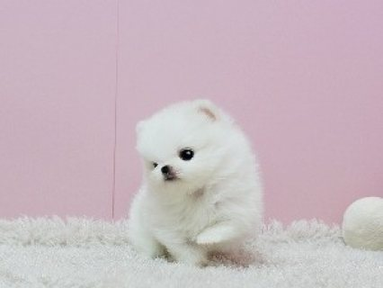 dorable Princess, Ice White Pomeranian Available!