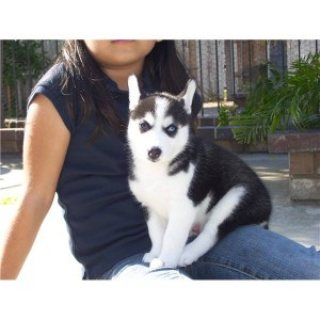 Male and Female Siberian Husky Puppies fo free home