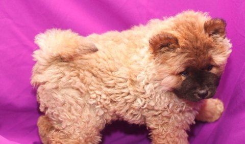 Adorable KC reg Chow Chow puppies for adoption 10 weeks