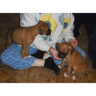 KC Boxer Puppies for Sale Now