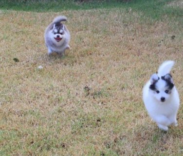 Sweet Pomsky Puppies With Blue eyes for sale