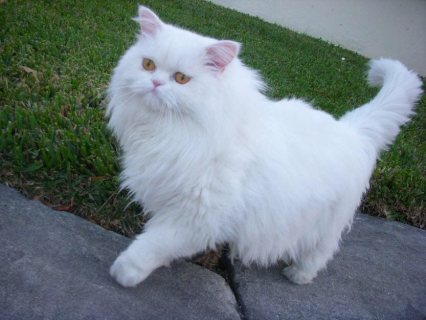 Teacup Persian Kittens For adorption
