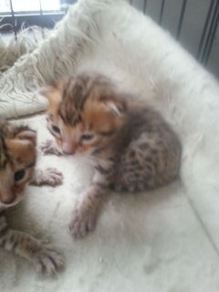 Gift Potty Trained Bengal Kittens for adorption