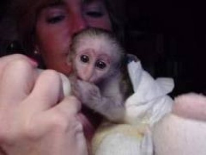 Tamed Capuchin Monkeys..............