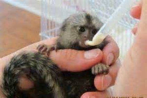 Marmoset Monkeys........