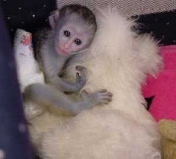 sweet capuchi monkey for adoption