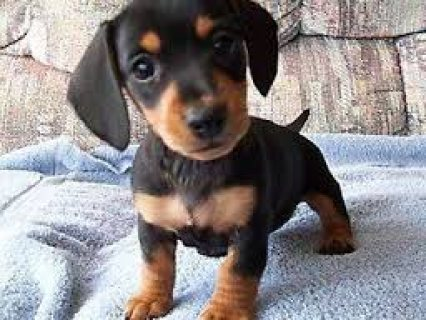 Cute male and female Dachshund puppies for sale