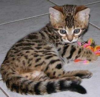 Sweet male and female bengal kittens for sale.,,,.