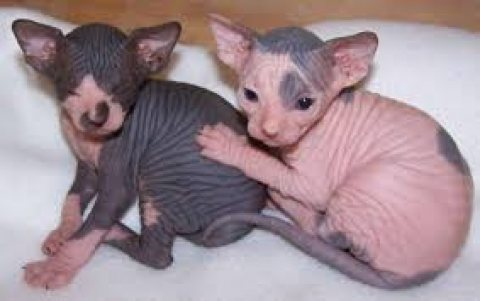 صور Adorable cute male and female Sphynx Kittens for sale. 1