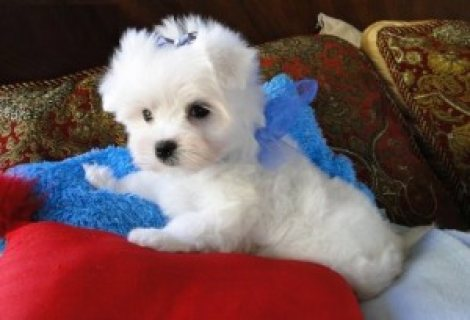Affordable Maltese Pups.........///////////////////