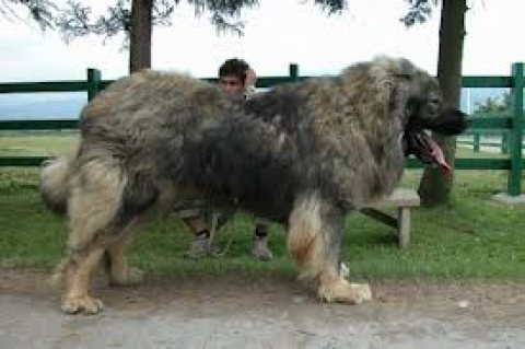 adorable Caucasian shepherd / Georgian shepherd for sale