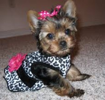 AKC Charming Male And Female Teacup Yorkie puppies for adoption