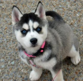 12weeks old Siberian husky puppies...........//////////////