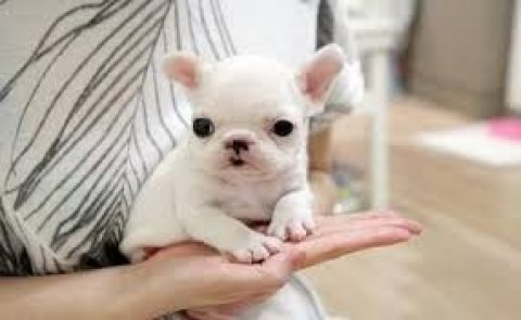 Beautiful Blue and White Pied French Bulldog Pups....../////////