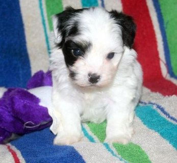 Havanese puppies for Adoption.