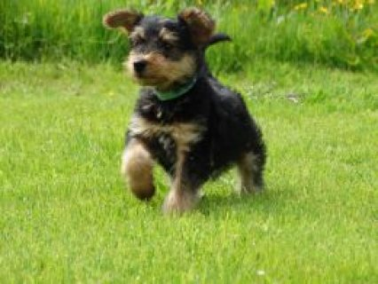 All Sold !!!!!  Blackburn, Lancashire £900 9 Airedale terrier pu